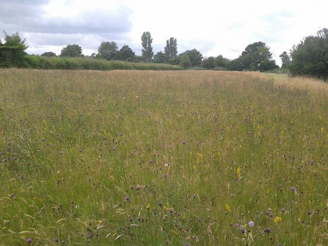 Wildflower meadow in Stebbing, Essex.