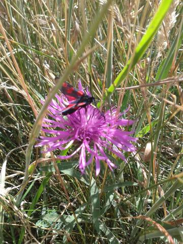 Burnet moth. Photo: Essex Wildlife Trust