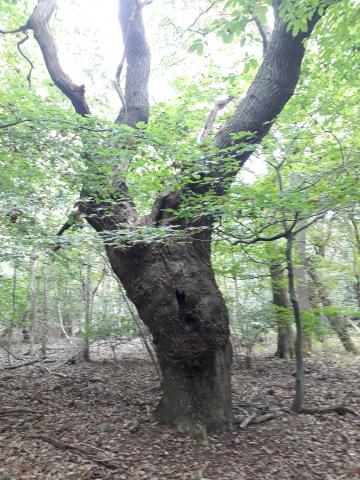 Ancient pollard at Danbury. Photo: Essex Wildlife Trust