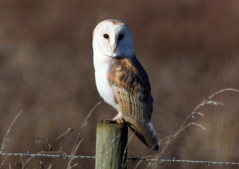 Barn Owls have moved from the Amber list to being Green listed
