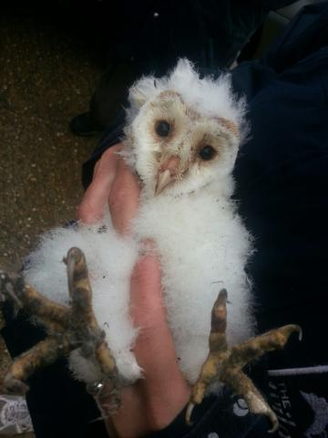 Barn owl chick at Abbotts Hall Farm. Photo: Emma Ormond.