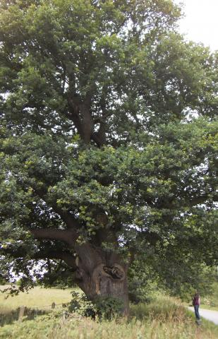Ancient Oak at Abberton. Photo: EWT