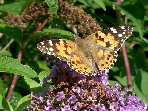Painted Lady Butterfly. Photo: George Catchpole