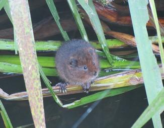 Water Vole at Fordham Hall, Essex. Photo: Darren Tansley