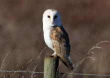 Barn Owl. photo: Essex Wildlife Trust
