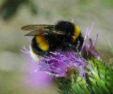 Bumblebee. Photo: Essex Wildlife Trust