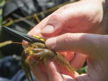 Measuring a crayfish under license. Photo: Essex Wildlife Trust