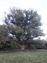 Veteran Tree at Hatfield Forest.