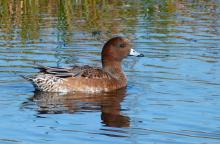 Wigeon. Photo: Annie Gordon