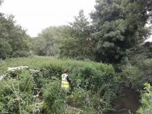 Removal of invasive species from an Essex river