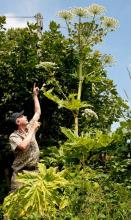 Giant Hogweed - sap can cause severe blistering to skin