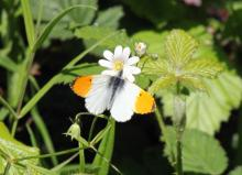 Orange Tip (Photo: John Turner)