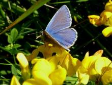 Common Blue butterfly. Photo: Annie Gordon