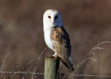 Barn Owl in Birch Living Landscape (Peter Bowden)
