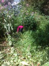 During... Himalayan balsam pulling in progress